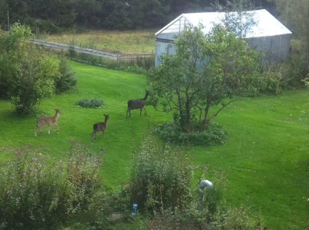 Tre av hjortarna som kom på besök. De travade iväg ut i skogen innan Pumah vaknade.