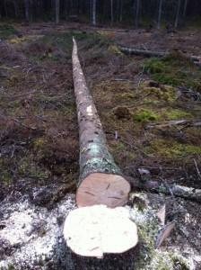 Det första större träd som jag fällt och kvistat på rätt sätt.