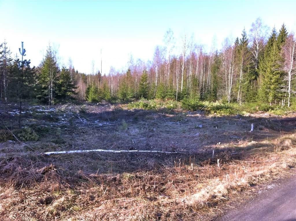 Drygt tio ar blivande masurbjörkskog. (1 ar=10x10 meter, 1 hektar=100 ar)