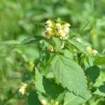 Hampdån har fina blommor men otrevlig stjälk.