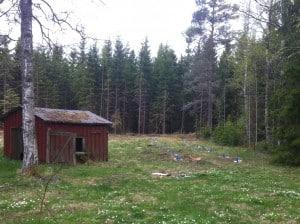 En blivande björkallé med plats för 25 hängmattor om man har tålamod att vänta. De blå sorkskydden är ett utmärkt sätt att hålla reda på plantorna.