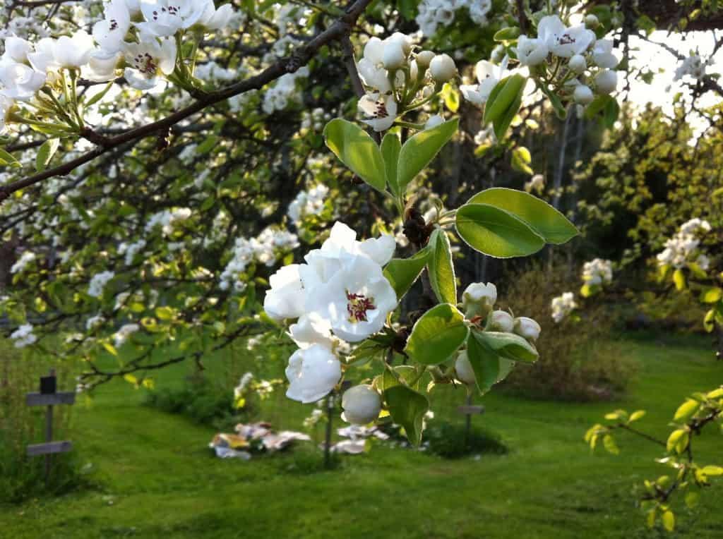 Ett efter ett slår träden ut i blom på gården. Päronblommorna är ändå en av favoriterna.