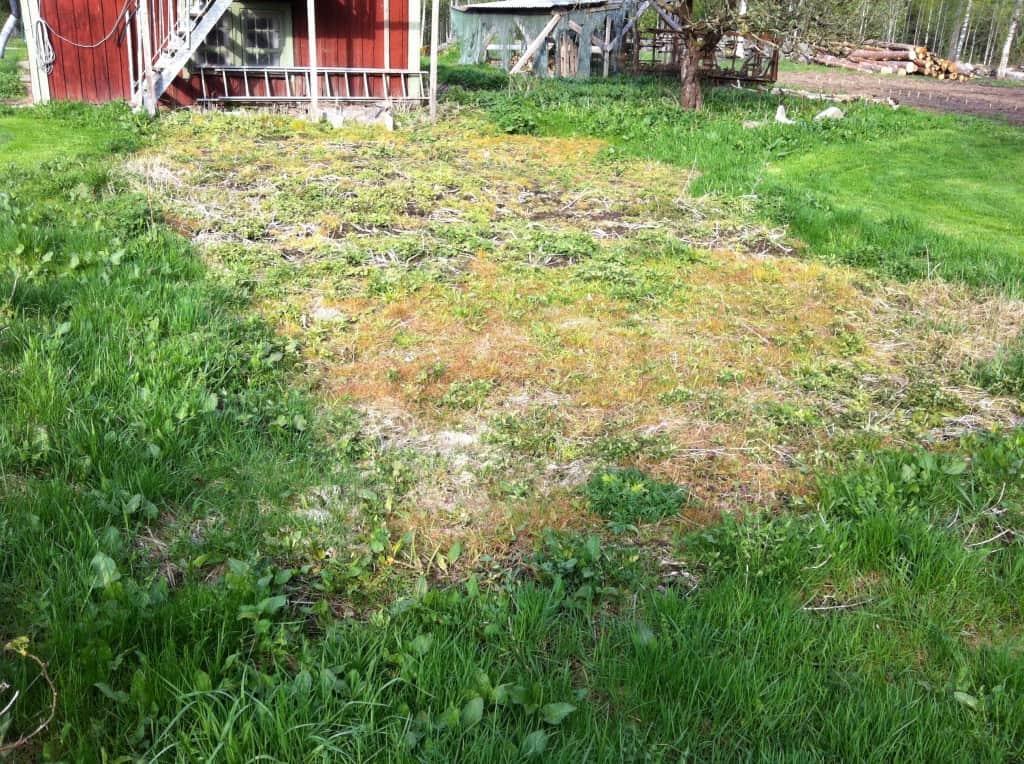 Två veckor efter sprutning med Roundup. Gräset har den gått hårt åt, maskrosen håller på att återhämta sig och nässlorna ser hyfsat pigga ut - även om de ligger långt efter i utveckling jämför med obesprutade exemplar. Någon totalbekämpning blev det inte med glyfosat i de doser som säljs till privatpersoner.
