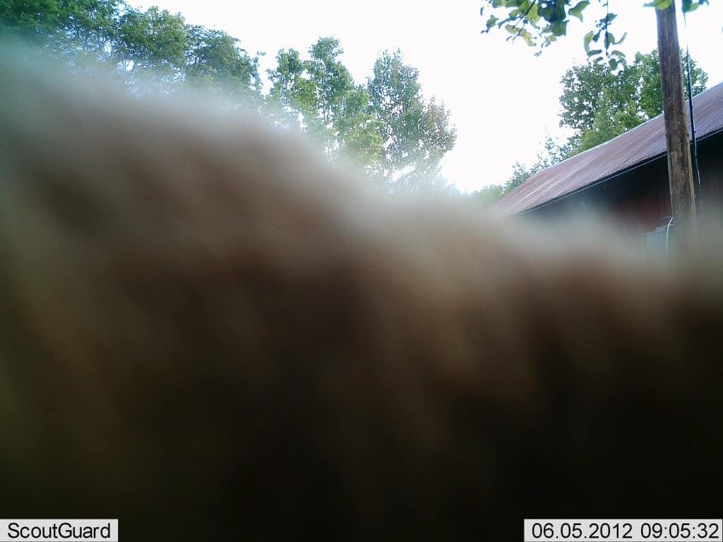Hade det inte varit för att kameran satt 1,7 meter över marken hade jag gissat på att det var min egen hund. Men eftersom hon har en mankhöjd på 48 cm så måste det vara något betydligt större djur som smyger omkring på gården.