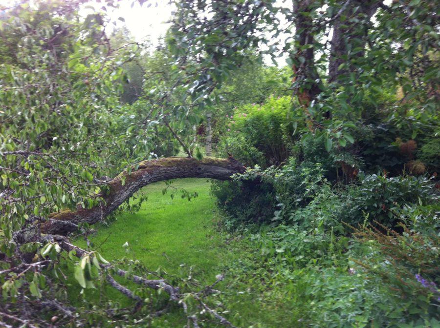Den gren som föll 2012 var betydligt kraftigare och det krävdes en stund med motorsågen för att få undan den. Nu ligger torkade delar av päronträdet i ladugården i väntan på slöjdprojekt.
