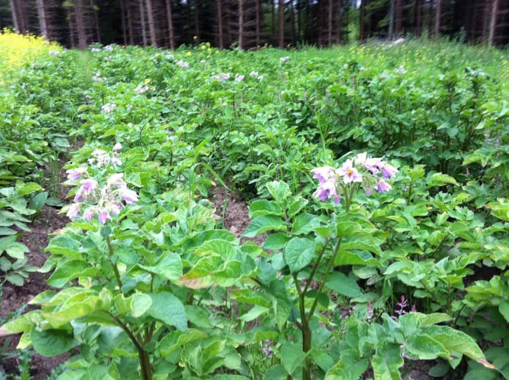 Potatisen blommar. Asterix ligger något före men än är alla plantor friska och starka utan tecken på mögel.