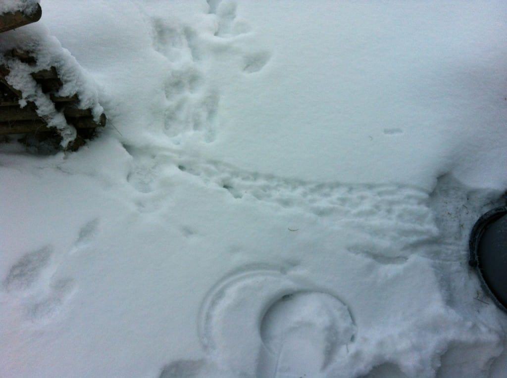 Spårsnön avslöjade att en hare smitit in genom grinden. Och en liten stig som mössen trampat upp från hålet i husgrunden till grindstolpen.