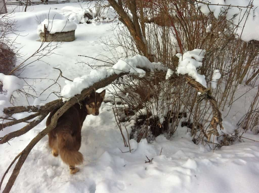 Vissa träd har bara gått tvärt av andra bara ligger ner. Får se vilka som reser sig när snön släpper.