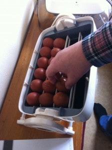 Maskinen är redo att kläcka fram kycklingar. Här är det maranägg som jag placerar i kläckaren.