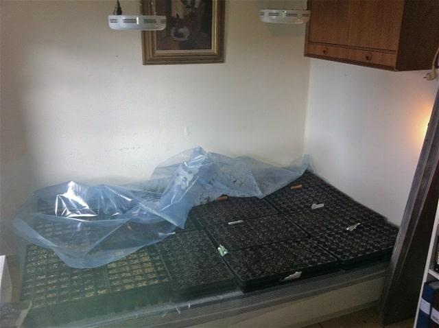 En bra såbädd. En 120-säng rymmer upp till sexton brätten. 60x16=960 – jag får in nästan 1000 pluggplantor om jag offrar en gästsäng under en månad.