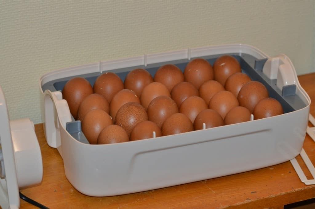 24 ägg lades i en kläckare. Hur många kycklingar finns där på torsdag?