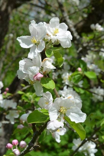 Äppelblommorma lockar bina - men maskrosorna verkar de gilla ännu bättre.