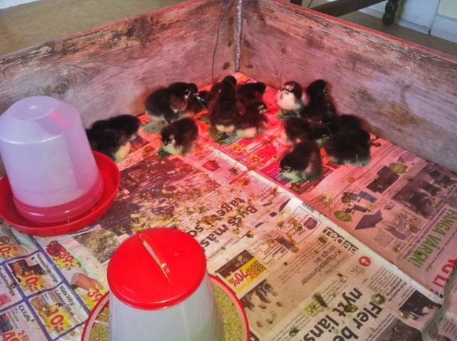Dag två är alla kycklingarna uppe och springer omkring. Temperaturen under värmelampan är 38 grader enligt termometern.
