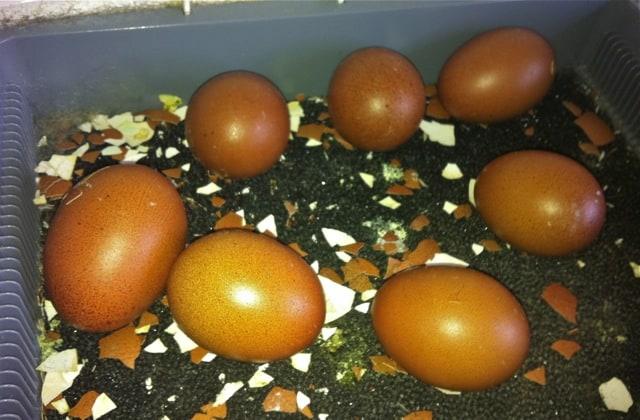 Efter tjugotre dagar ligger sju ägg kvar i kläckaren. Av dessa var fem betydligt mindre än de övriga.