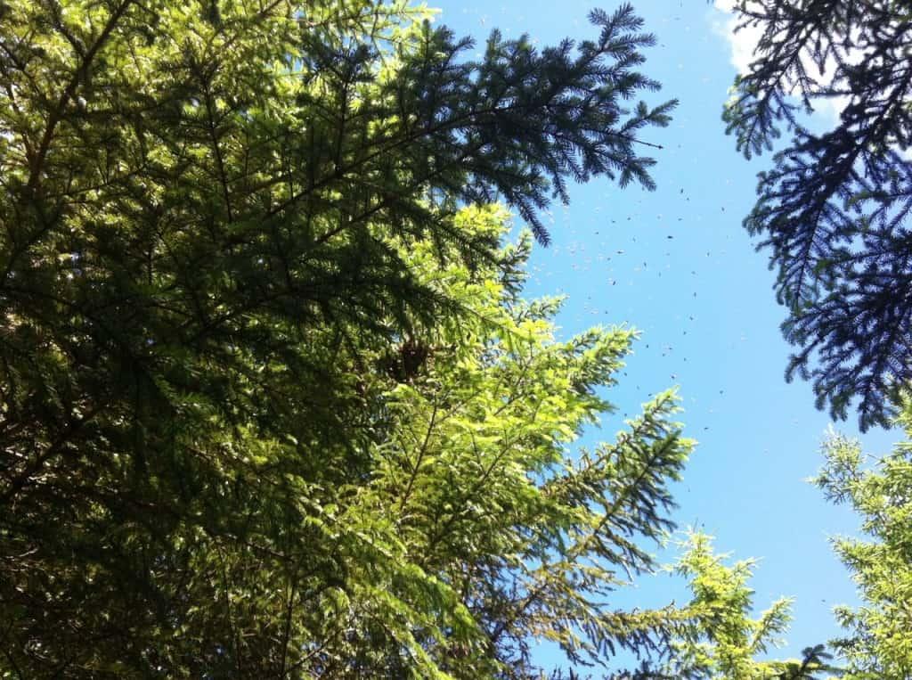 Svärmen satte sig fyra meter upp i en gran. Vi följde den 500 meter genom skogen. Först jag, sedan hunden och sist min systerdotter.