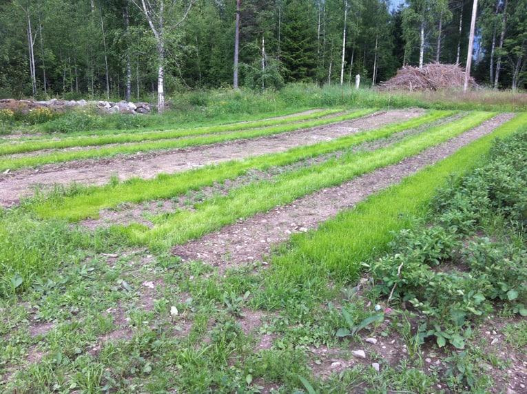 Jag har flera gånger fått höra hur fina mina odlingar ser ut. Tyvärr är det rajgräset mellan odlingarna de menar då.