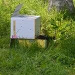 Nu är bina boxade och väntar på ny bostad.