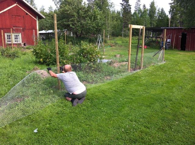 När man ska bygga hönsgård behövs en medhjälpare, särskilt när man sätter upp stängslet. Nästan omöjligt att få det sträckt annars. Lägg märke till hur osynligt plastnätet blir