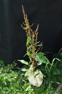En etablerad skräppa kan blomma två gånger under säsongen och producera många tusentals frön som kan leva i jorden i tio år.