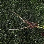 Med tiden utvecklar skräppan pålrötter. Det är det översta 4-7 centimetrarna som har störst chans att utvecklas till nya plantor när det klipps ner.