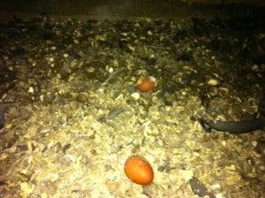 Mina första ägg. En del verkar klara fallet ner i gödseln, men jag äter inte ägg som legat där.