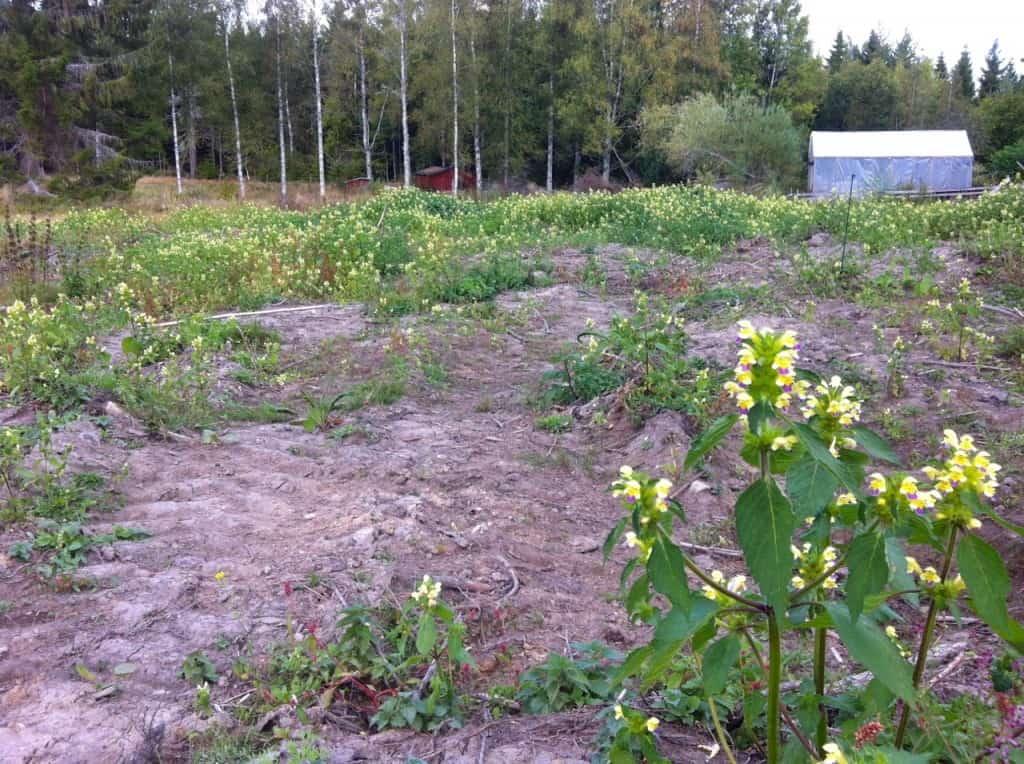 När skogen är borta har det blivit goda förutsättningar för de frön som lagrats i jorden under åren. För tillfället är det hampdån som har tagit över.