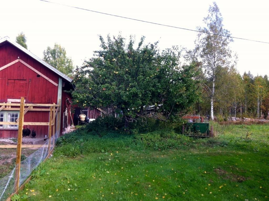 Mitt oranieträd står nere vid ladugården och är på väg att växa upp i kraftledningen.