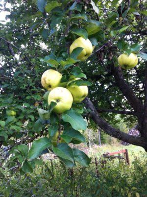Hittade rätt snabbt koden för äpplen. Men den gäller först efter 16 september.