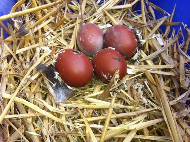 Jag vet att jag plockade fram sex ägg ur gödselbingen. Men efter fem minuter fanns det bara fyra stycken kvar.
