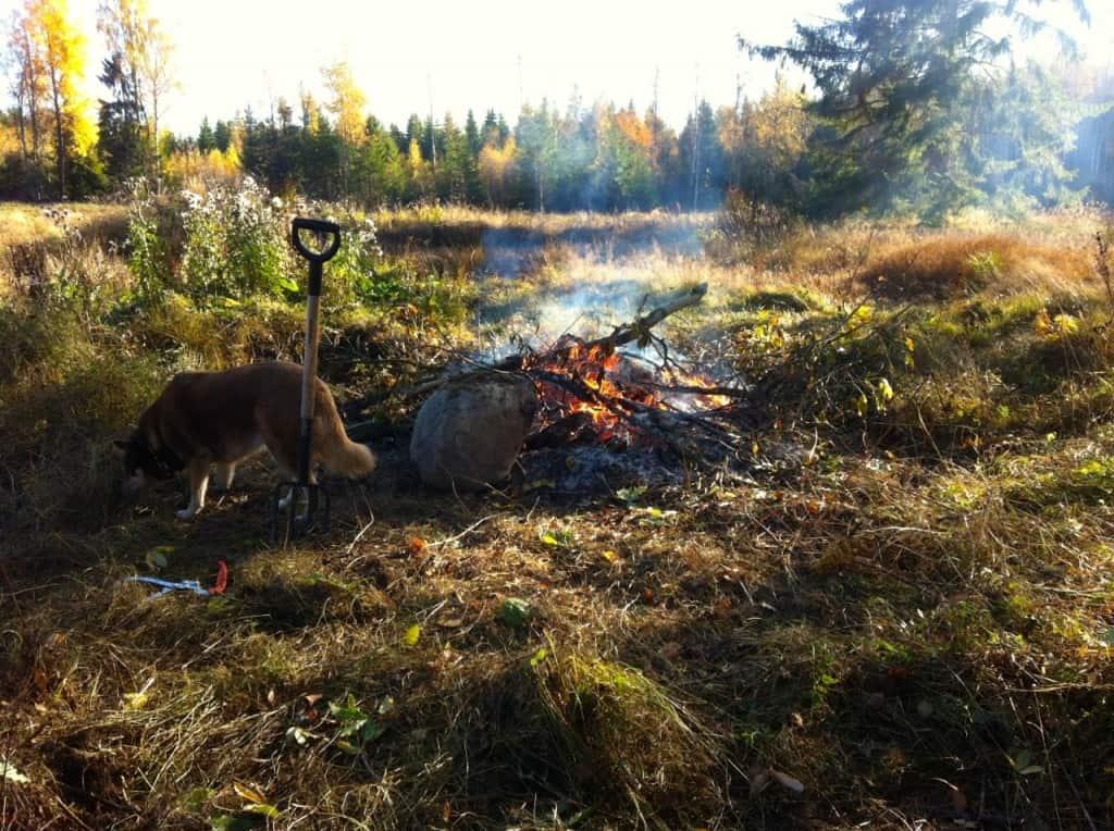 När elden väl kommit igång på riktigt kan man elda nästan vad som helst. Färska grenar, genomsura ruttnande plankor och mögliga björkstubbar.
