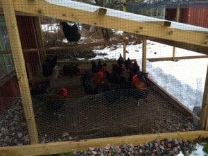 Nu är hönsen glada över min altan. De senaste dagarna har de inte velat gå ut. Gillar inte snö på fötterna.