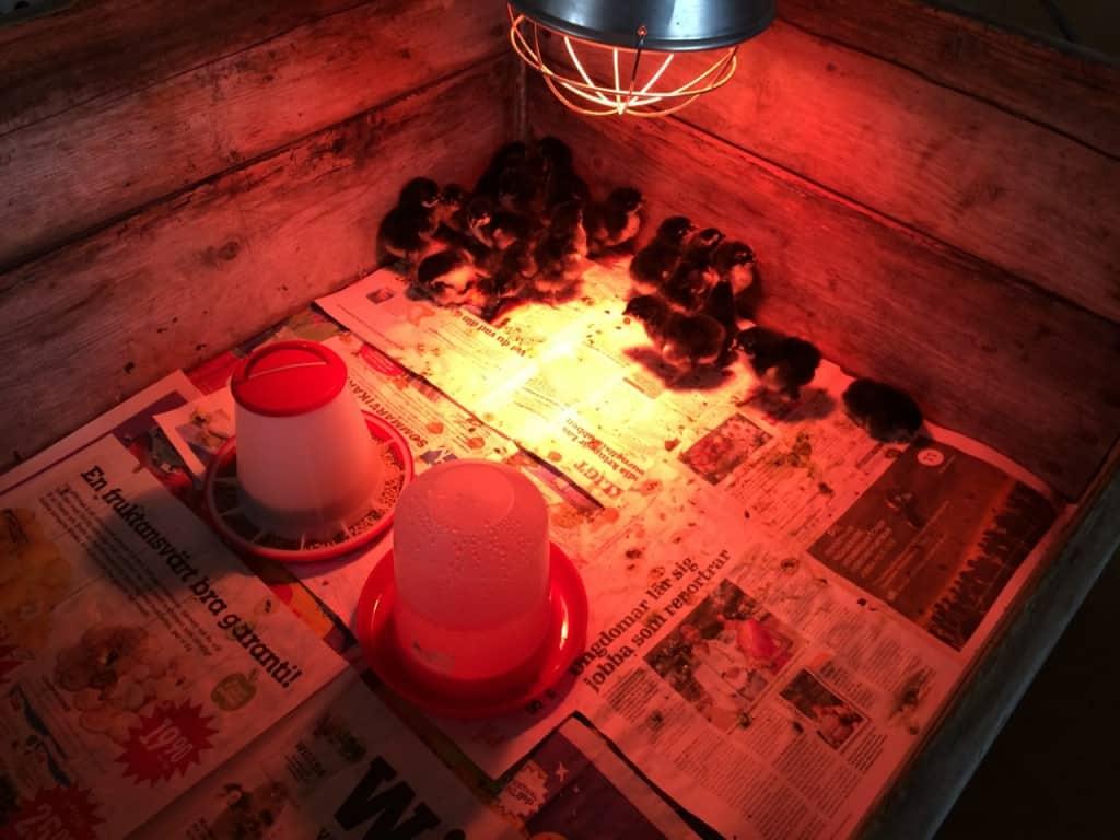 Blir det otäckt springer alla kycklingarna in i hörnet. Alla vill vara innerst.