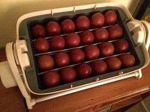 24 utvalda kläck ägg. 26 februari är beräknad kläckdag.