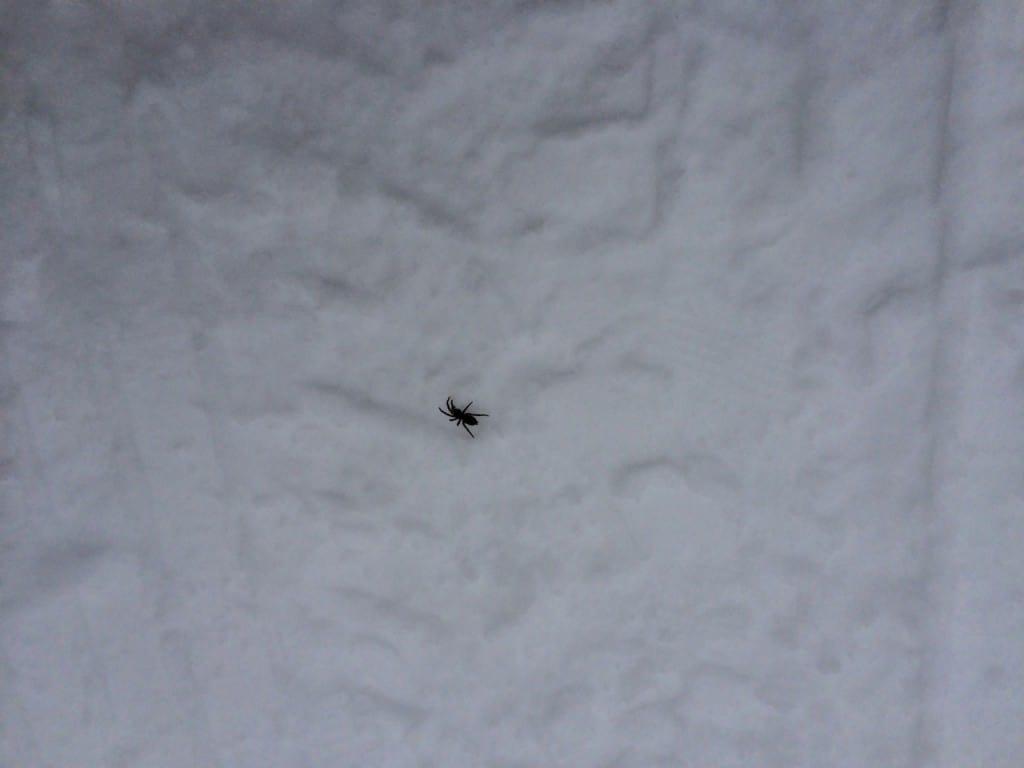 Årets första spindel har vågat sig ut på vägen. Vart den skulle får vi aldrig veta.