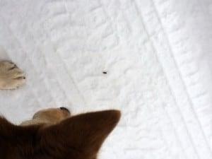 Ett rovdjur har fått syn på snöspindeln och naglar fast den med blicken. Ett ögonblick senare är spindelns saga all.