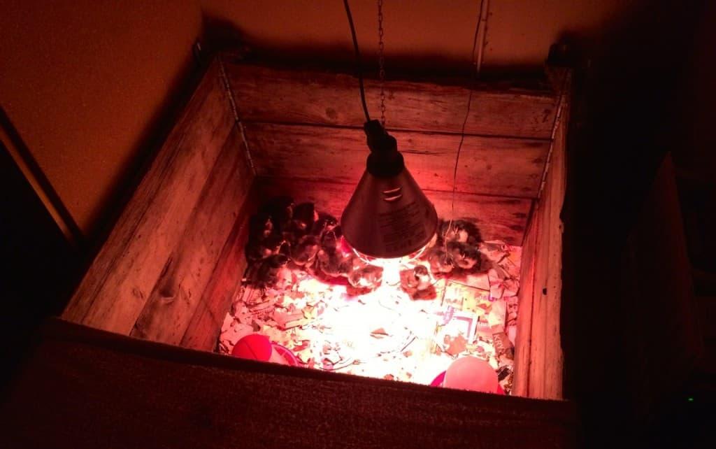 Kunde ha varit grillad kyckling under värmelampan, men de här är lite för råa för min smak. Har sträckt en handduk över halva pallkragen för att hålla värmen lite bättre.