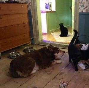Numera kommer katterna väl överens med hunden. Det har tagit någon vecka men de verkar förstå att hon är vänligt sinnad.