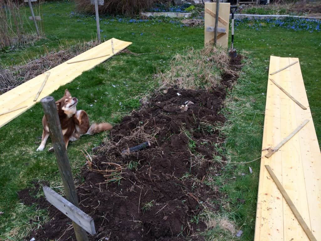 Att gräva genom jorden i det gamla hallonlandet var ett rätt drygt jobb. För mig – Pumah hjälpte till att gräva en stund men tröttnade snabbt.