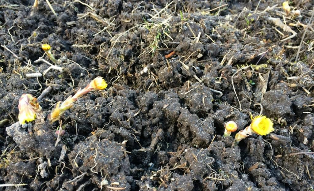 I höstas fräste jag den här marken och hästhovens rotdelar skickar nu upp blommor här och var på fältet.