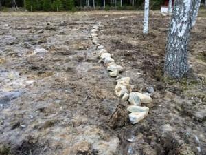 Stenplockning är inget kortvarigt nöje, för att få lite roligare resultat och kortare transportväg har jag påbörjat en mindre stenmur som ska fungera som gräns mellan certifierad och konventionell mark.