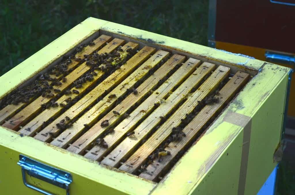 Efter att ha fått lite rök kröp bina ner. Tunga och bra lådor med mycket bin.