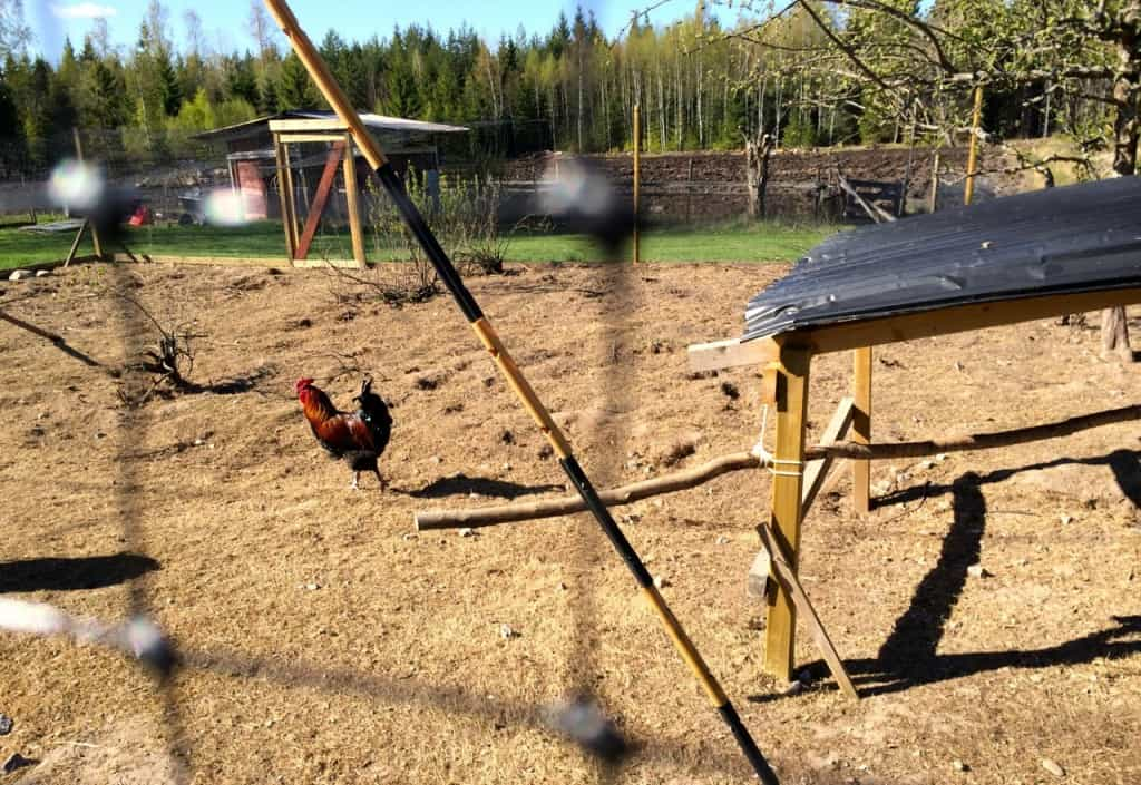 Ensam och övergiven går den sista tuppen omkring i hönsgården.