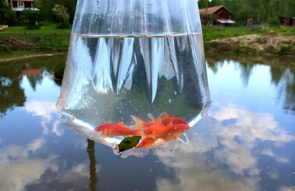 Snart ute i det fria. Det blir inget riskfritt liv men om jag själv hade varit guldfisk hade jag nog föredragit ett liv i en damm framför en glasskål.