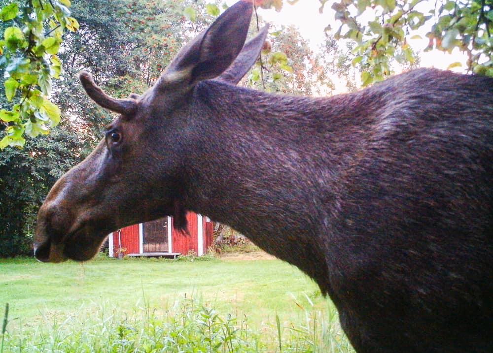 Några gånger per år passerar älgar över gården. Ståtliga – men jag behandlar dem försiktigare än hjortar och rådjur.