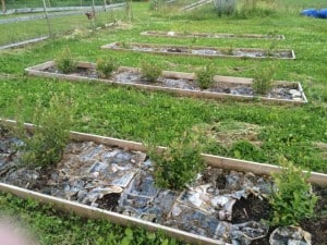 Någon har till slut förbarmat sig över mina blåbär och frigjort dem från årets ogräs.