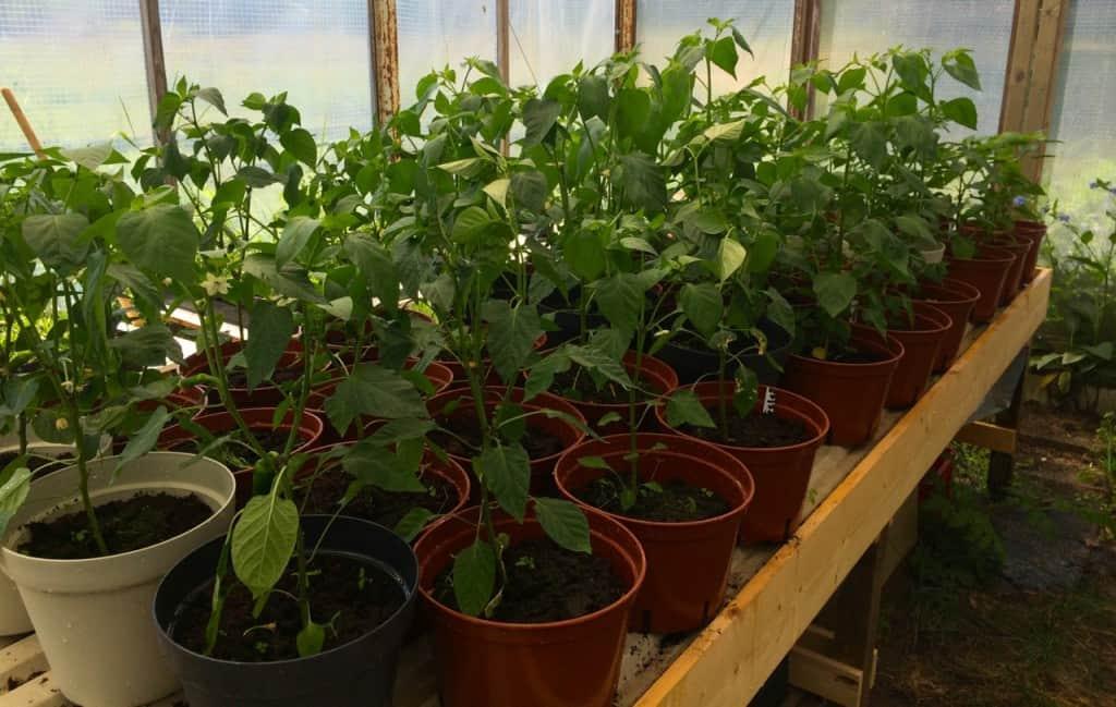 Än så länge går växthusodlingen efter planerna. Drygt förti plantor har jag på gång.