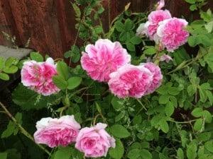 Är det någon som känner igen den? Jag gissar att den inte heter mormors ros i katalogerna.