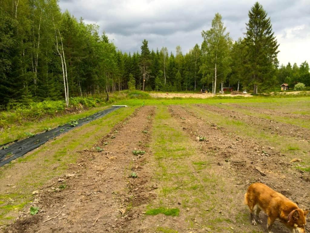 Mörka moln i antågande och åskmuller på avstånd är en bra motivation för att jobba på med ogräsrensningen.