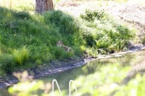 Pumah har förstått det här med sommarvärme. Hon tillbringar helst dagarna i gräset vid dammen, skuggad av gammelgranen.