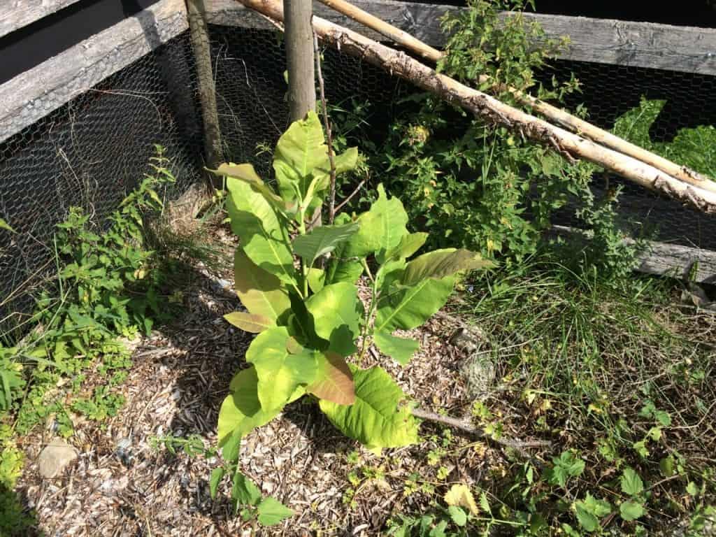 Den torra kvisten i mitten var allt som fanns kvar i våras. men i helgen upptäckte jag att nya skott letat sig upp ur  jorden. Så nu har jag trots allt en magnolia.